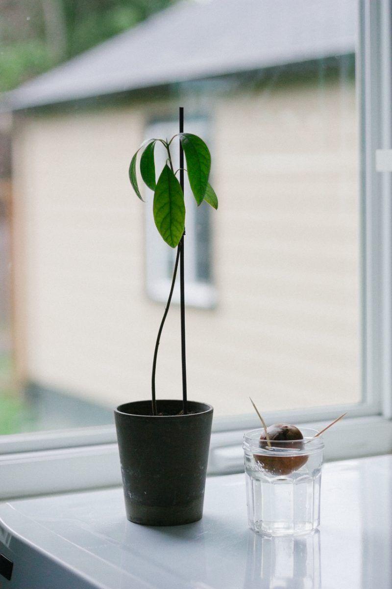 avocado pflanze pflege avocado avocado pflanze. Black Bedroom Furniture Sets. Home Design Ideas