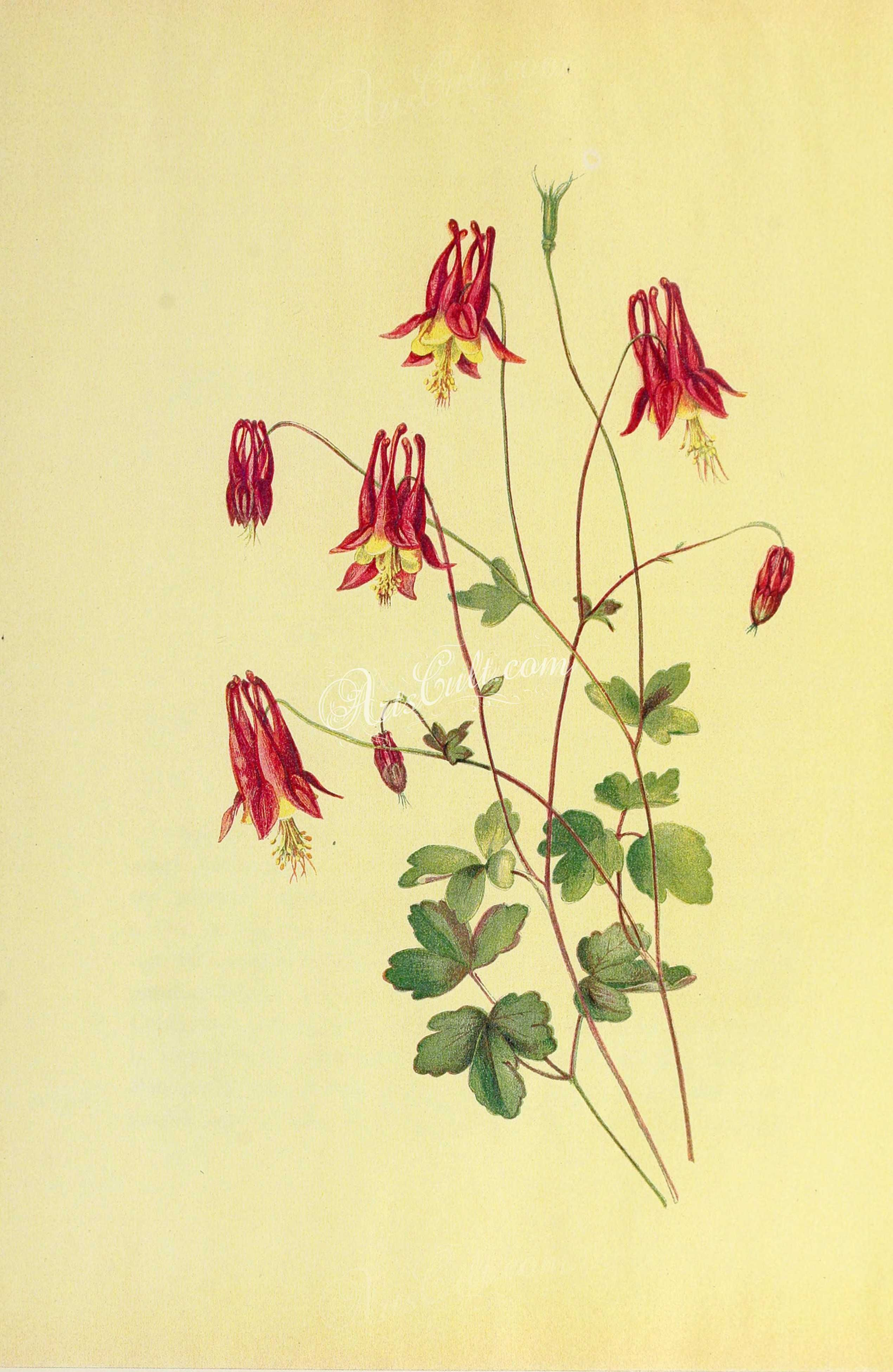 Pin On For Commercial Use Columbine