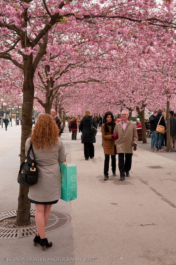 Walking under the Sakura blossom, Stockholm, Sweden