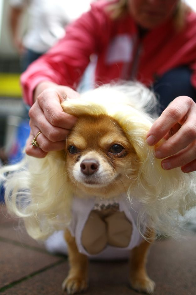 Marilyn Monroe Long Haired Chihuahua Puppies Chihuahua