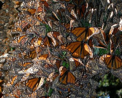 A tree in Mexico wears a fluttering cloak of monarchs. Photo by Jaap de Roode