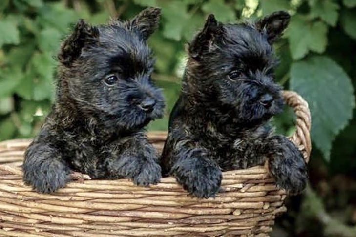Cairn Terrier Dog Breed Information In 2020 Cairn Terrier Puppies Dog Breeds Terrier Dog Breeds