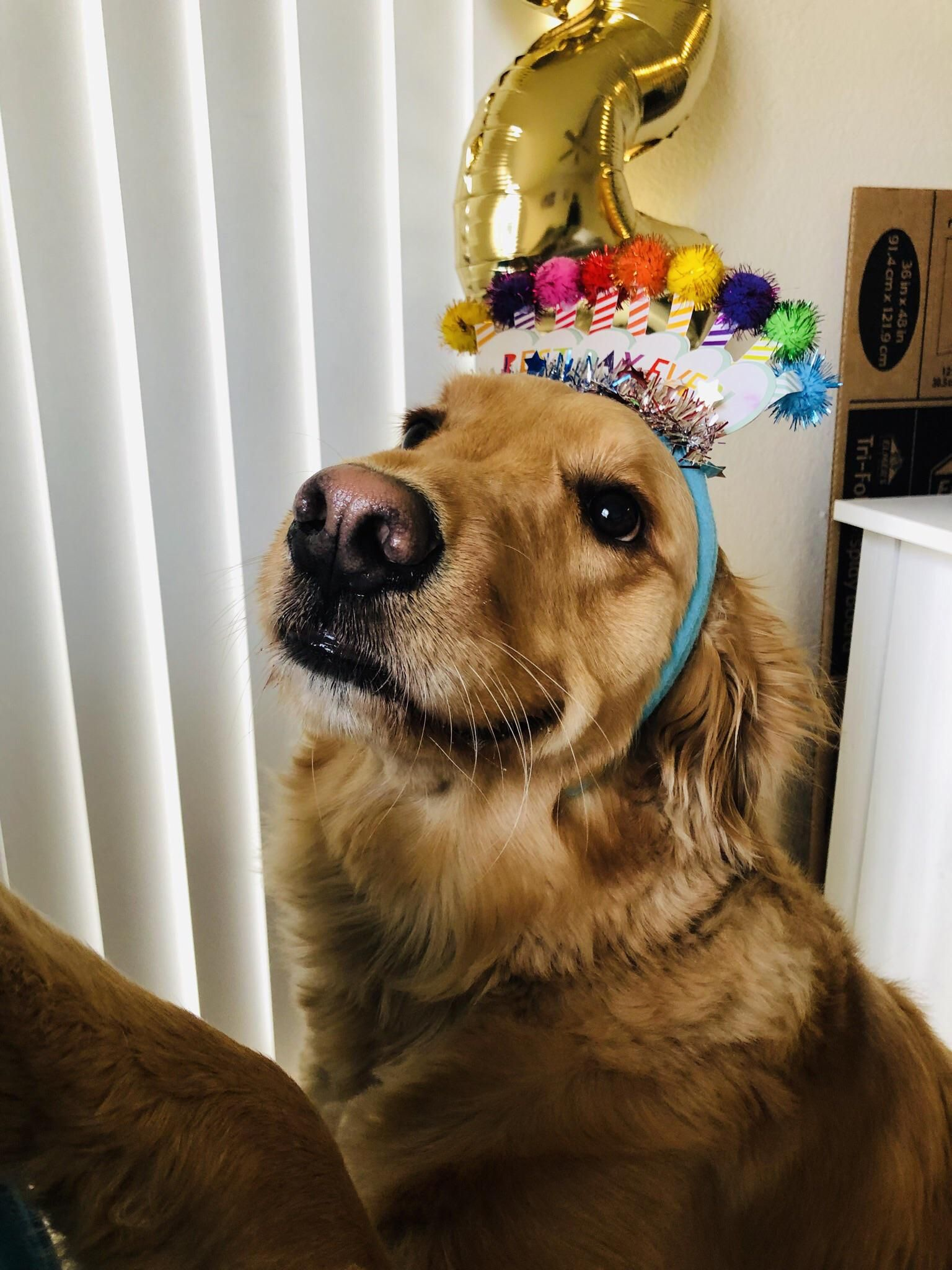 Here Is My Princess On Her 2nd Birthday In 2020 Cute Cats And Dogs Golden Retriever Dogs Golden Retriever