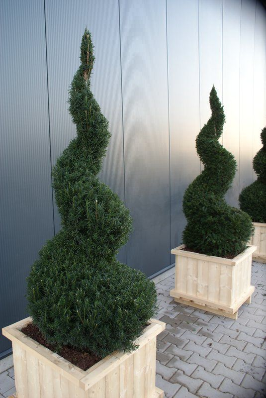 buxus spirale in der gr e 125cm tolle gartenpflanzen in spiral form pinterest spiralen. Black Bedroom Furniture Sets. Home Design Ideas