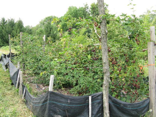Doyle's Thornless Blackberries.  $20 each.