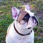 French Bulldog Rescue Network Zen In Fl Frenchies French