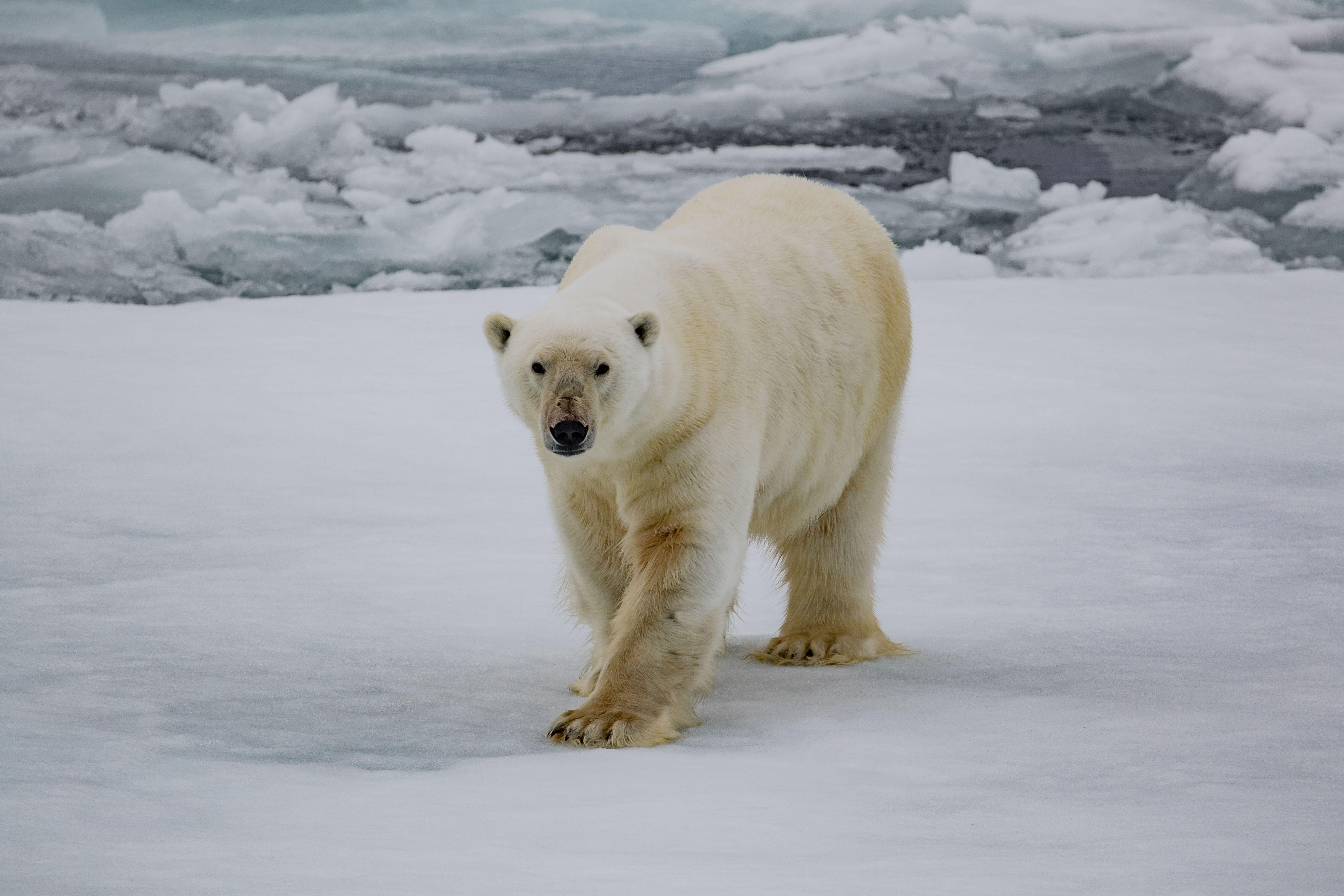 Pin On Polar Bears