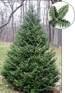 Canaan fir in Ohio - Google Search | Plants and Trees | Pinterest ...