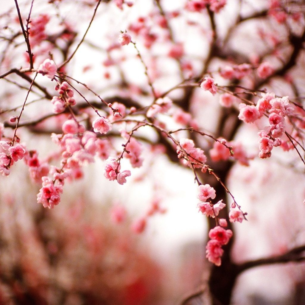 Spring Pink Japanese Cherry Blossoms wallpaper Cherry