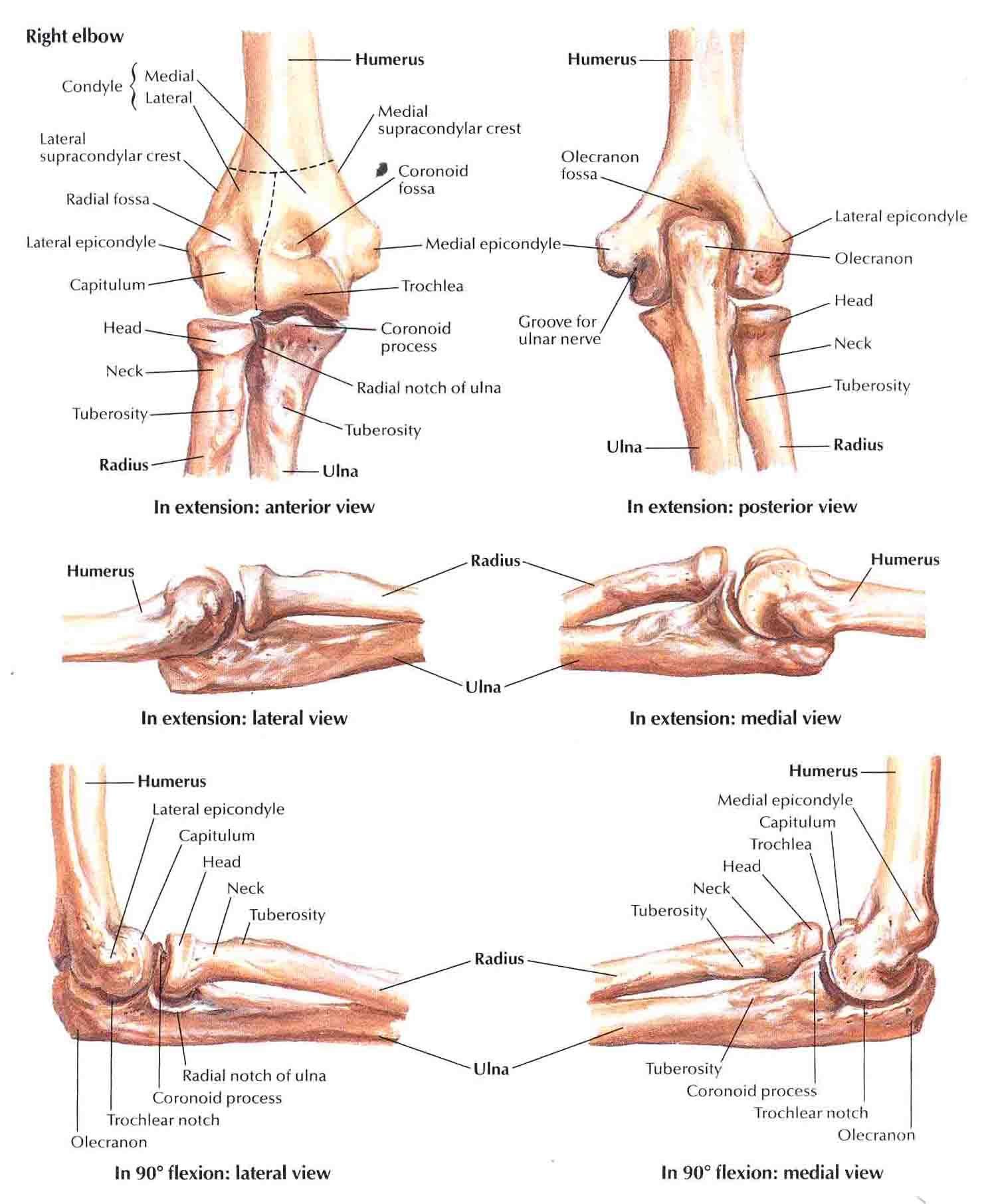 Bones Of Elbowg 14871812 Sdp Anatomy Pinterest