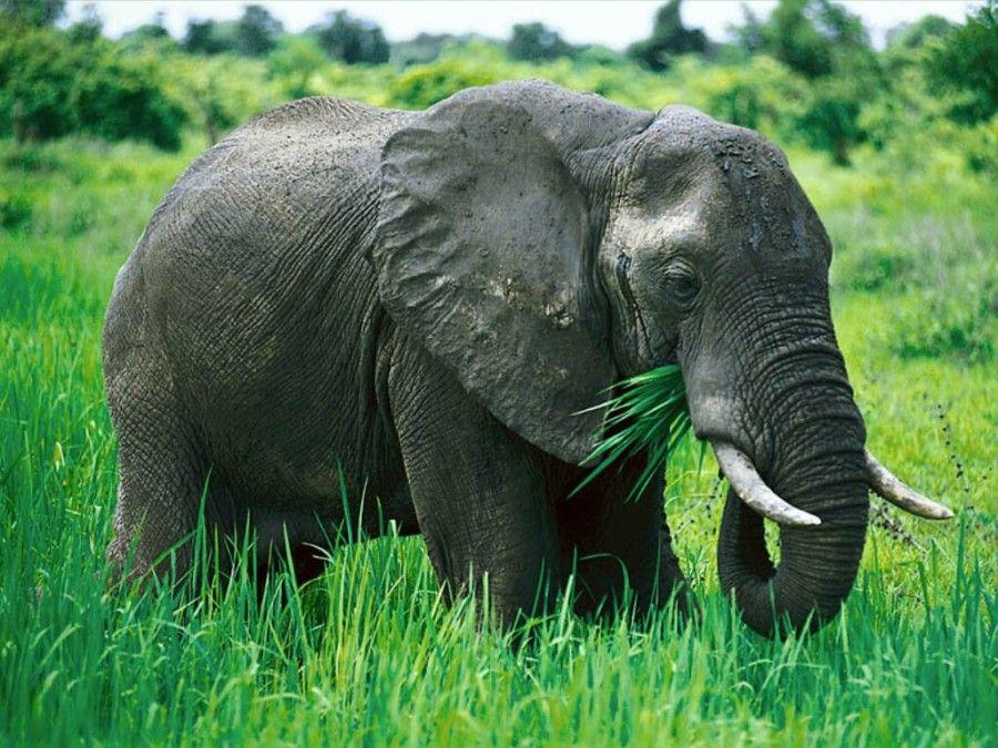 elefante-comiendo | E l e p h a n t s . | Pinterest | Elefantes y ...