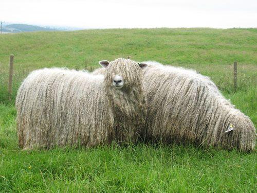 Lincoln Sheep Images Google Search Ninos Ovejas Razas Ovinas Ganaderia Cabras