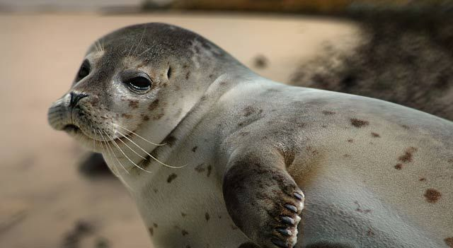The Caspian Seal Pusa Caspica Has Moved From Vulnerable To Endangered It Occurs Throughout The Caspian Sea Us Cute Endangered Animals Harbor Seal Animals