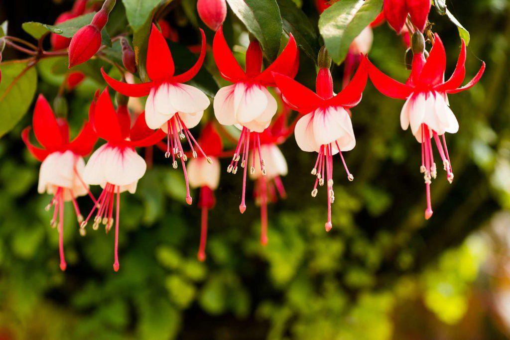 fuchsien vermehren stecklinge aussaat co schattenpflanzen garten schattenpflanzen und