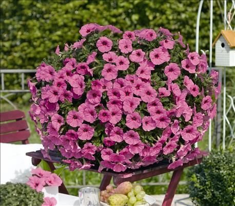 Potunia Plus Pinkalicious Petunia Sunrise Is Selling This New Variety Of Petunia Potunia In 4 Pots And Wire Petunia Flower Beautiful Flowers Garden Petunias