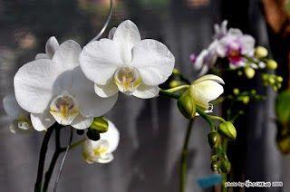 Bunga Anggrek Bulan Jakarta Barat Bunga Toko Bunga Anggrek