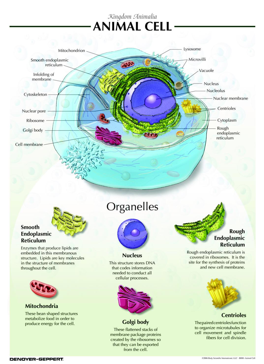 Denoyer Geppert Animal Cell Chart Animal Cell Teaching
