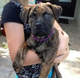 Adopt Haus On With Images Pug Puppies Puppies For Sale Boxer Mix Puppies