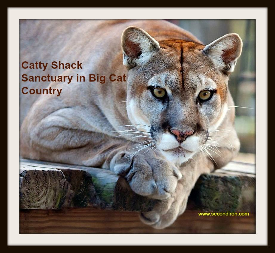 catty shack cougar http://www.secondiron.com/catty-shack-sanctuary-in-big-cat-country/