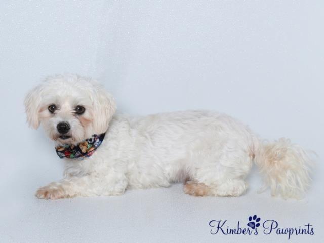 Jimmy 8 Year Old Coton De Tulear Mix Omaha Ne Animal Shelter Humane Society Pets