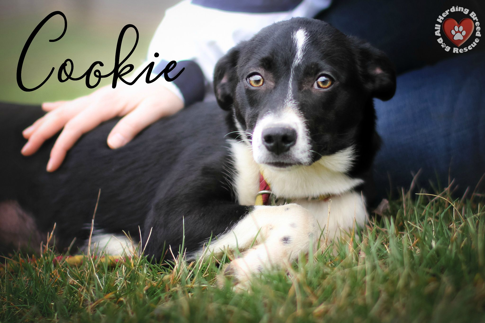 Adopt Cookie on Herding breed, Rescue dogs, Dogs