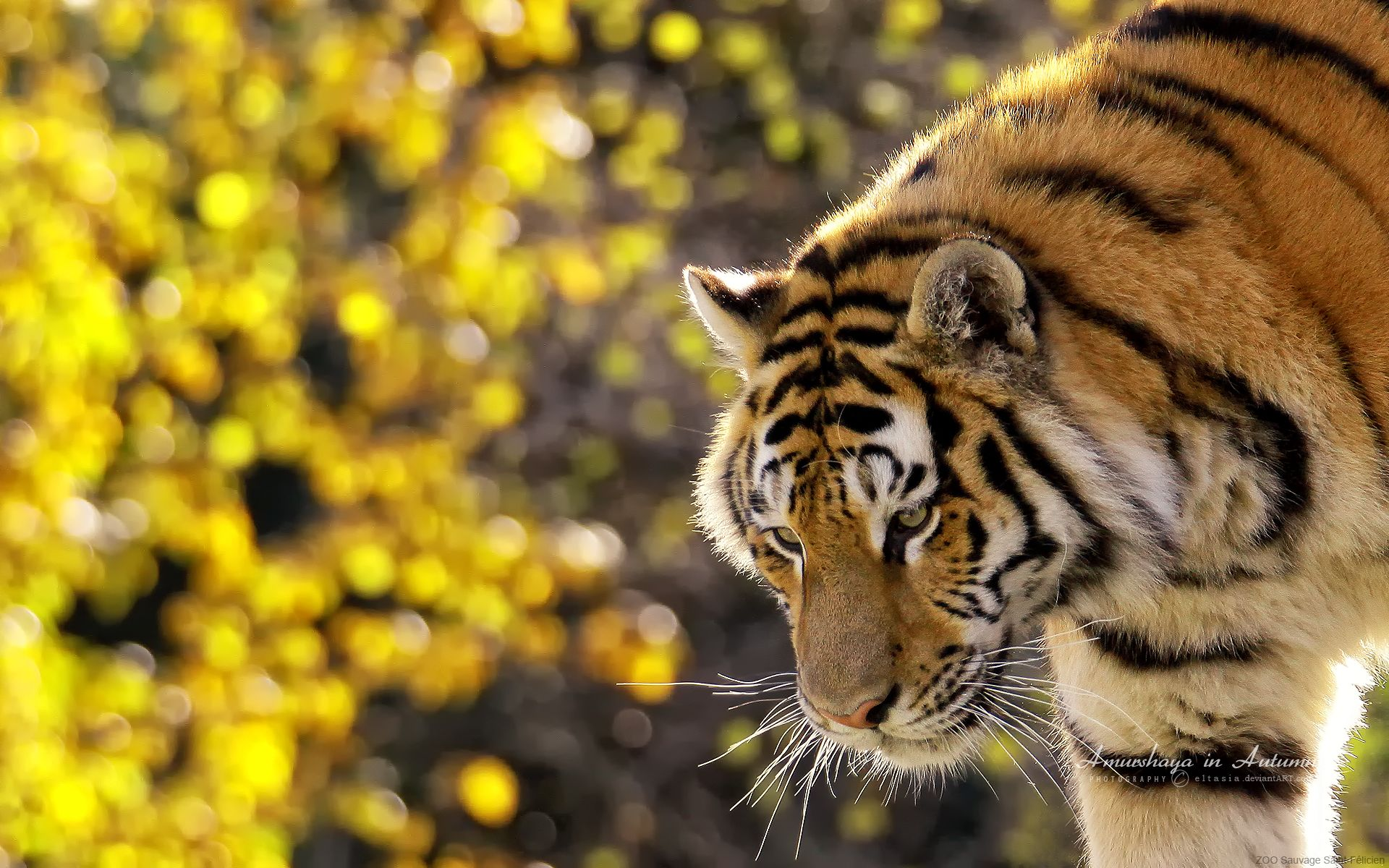 beautiful tiger wallpaper - http://www.56pic/animals-birds