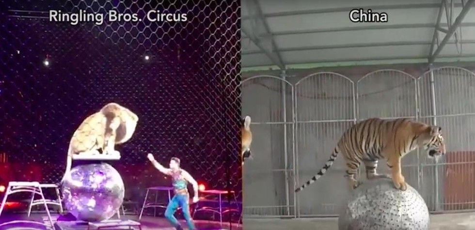 Circus Animals Beaten And Kept In Filthy Cages, New Footage Shows. It's also a striking reminder of what animals face in places like the U.S. While the conditions might be better, Ringling Bros. and other circuses and roadside zoos train big cats and other animals to perform exactly the same tricks that the animals at the Chinese circuses are forced to learn — and it's virtually impossible to teach predators like lions and tigers to perform without the threat of violence.