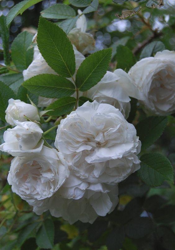 Rugosa Rose Snowdon Full Sun To