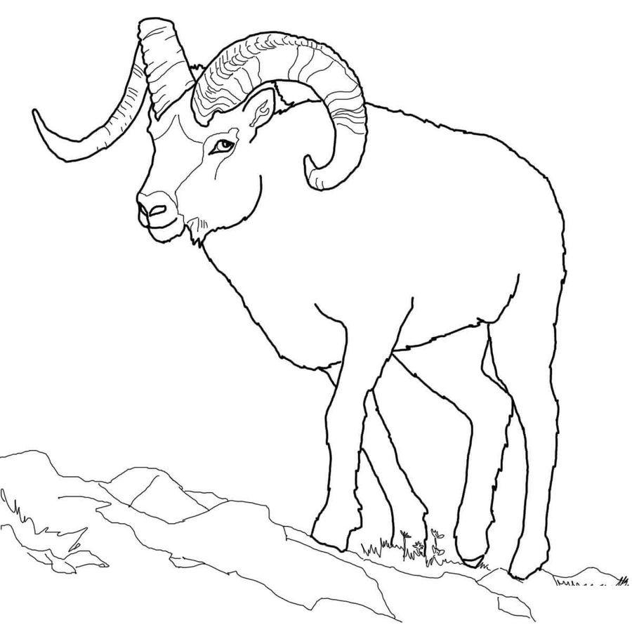Dickhornschaf Ausmalbilder Ausmalbilder Dickhornschaf Malvorlagen Tiere Ausmalbilder Schafe