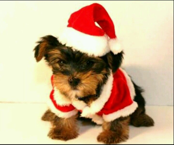 Lil Tea Cup Santa Yorki Too Cute Yorkie Puppy Teacup Yorkie Puppy Yorkie