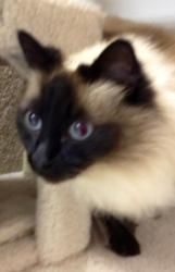 Adopt Lizzy On Petfinder Balinese Cat Domestic Cat Breeds Cats And Kittens