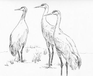 how to draw a sandhill crane step by step drawing tutorials MS Sandhill Crane how to draw a sandhill crane step by step drawing tutorials animals drawings step by step drawing bird drawings