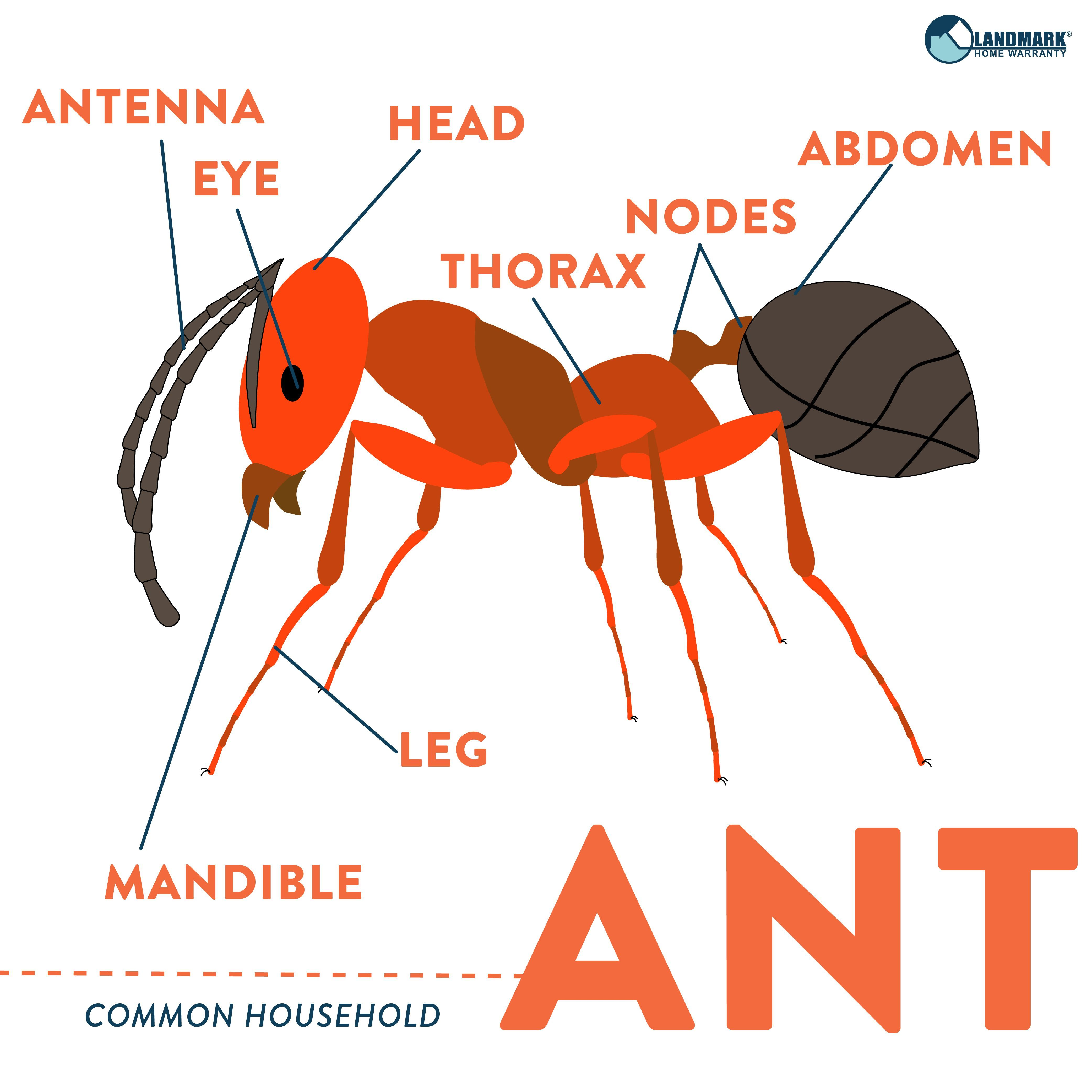 What An Ant Looks Like An Ant Diagram In