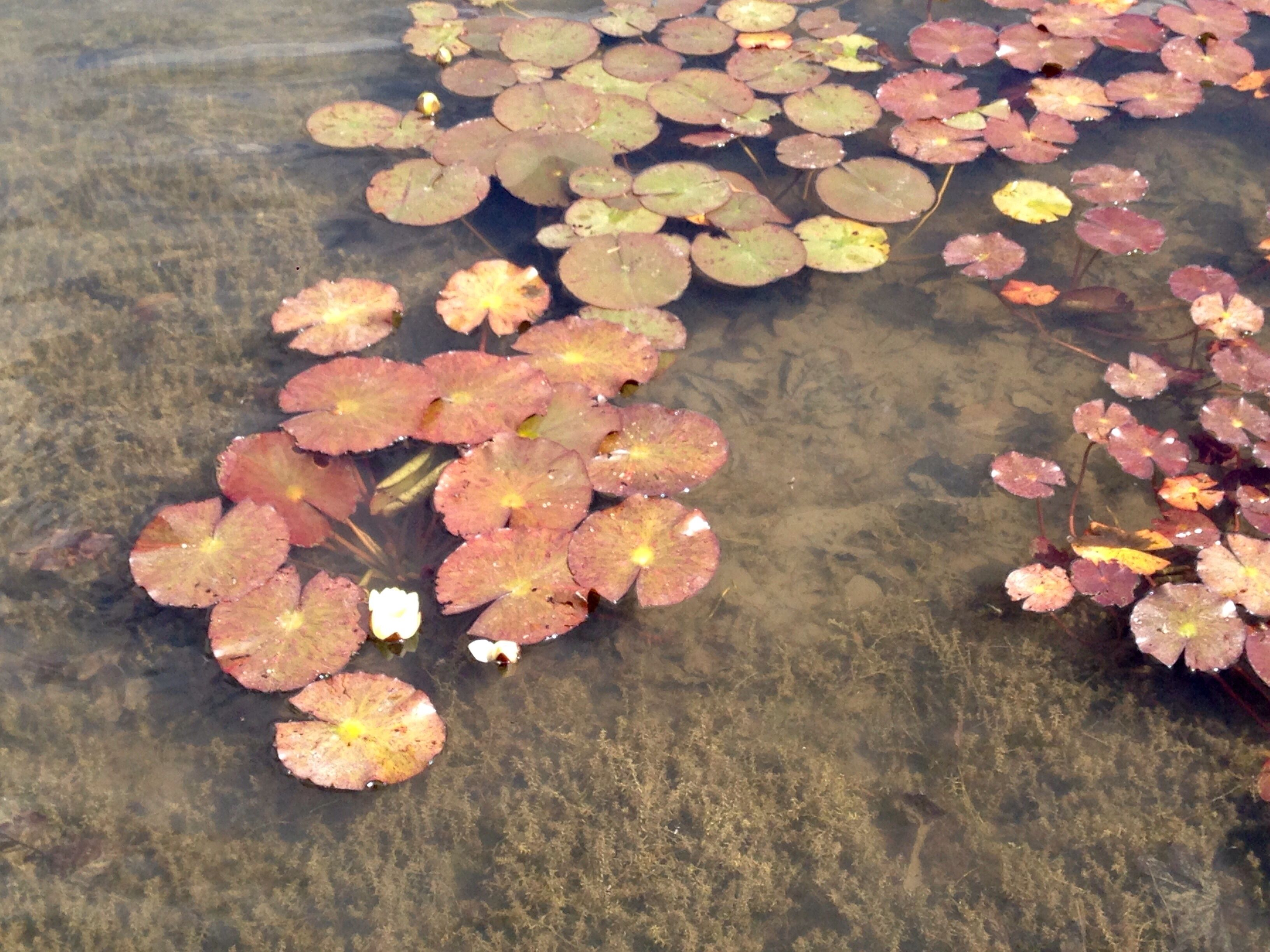 Lily pads at Townley Hall