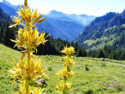 Sign In Fleurs De Montagne Fleurs Des Alpes Fleurs Sauvages