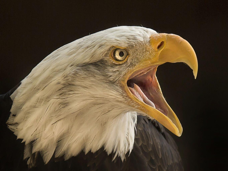 лотки, орел фотографии птица территории ейского