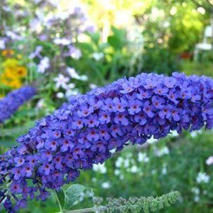 Буддлея Давида растет в саду | 420x420