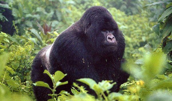 Gorilla in the Ruhengeri Mountains in Rwanda