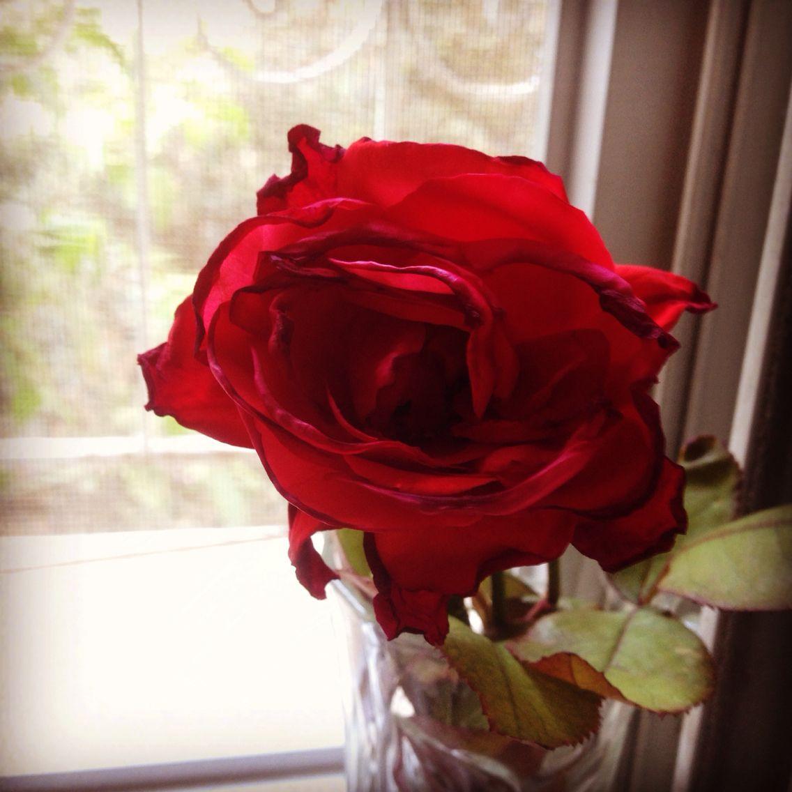 ورد جوري Red Roses Flowers Rose