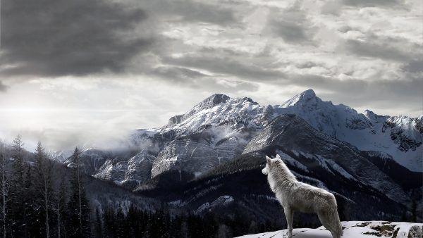 Lobo Solitrio Wallpaper Hd Animais Wolf Wallpaper Wolf E Wolf