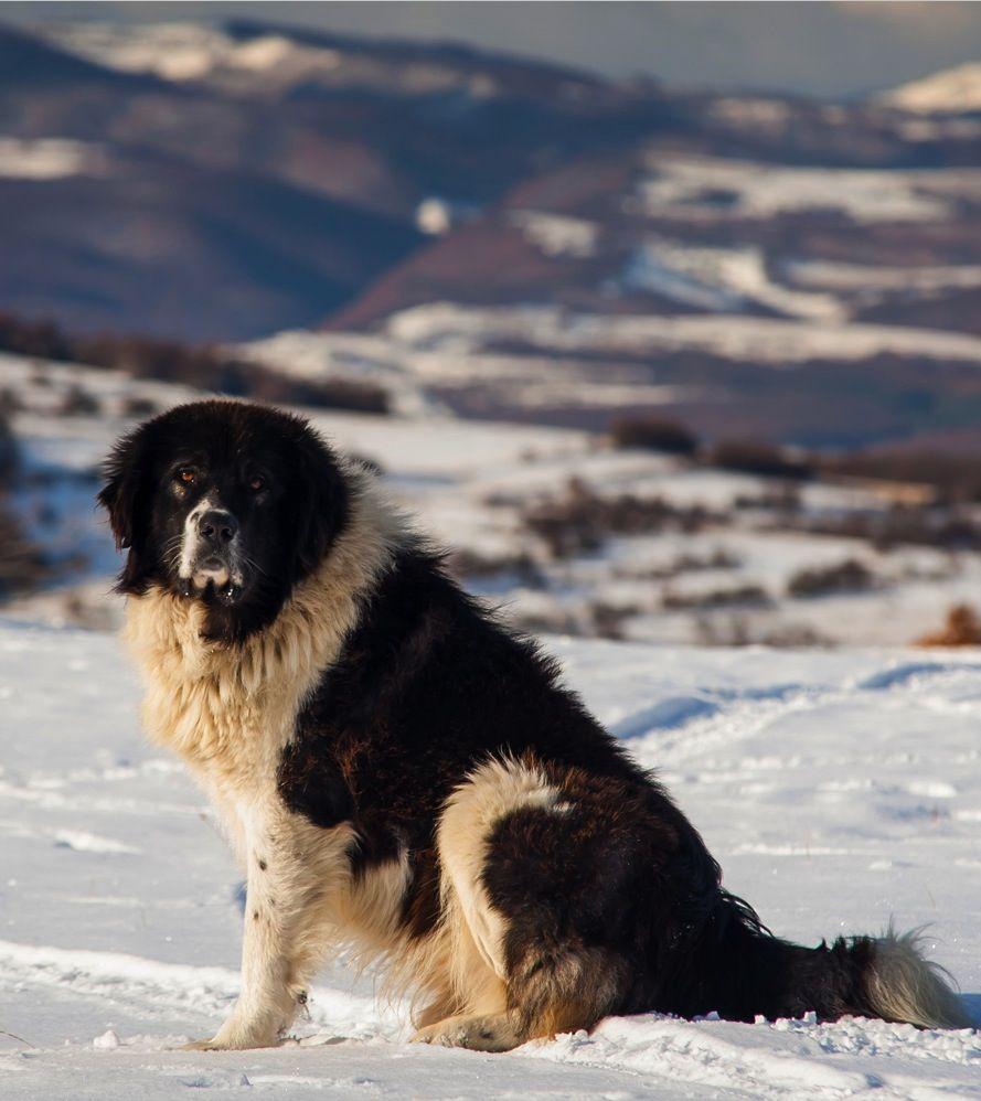 Bukovina Shepherd: content and reviews 83