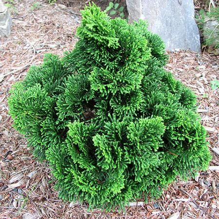 Dwarf hinoki cypress dwarf evergreen and planting for Small slow growing evergreen trees
