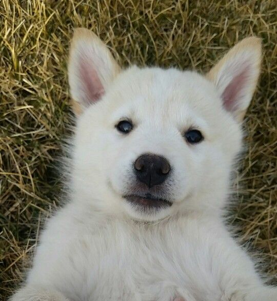 Husky Lab Mix Puppy Shepherd Cute Puppy Baileyrose Husky Lab Mix Puppy Lab Mix Puppies Husky Lab Mixes