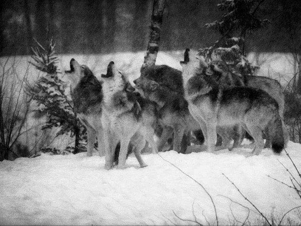 animal, black and white, forest, howl, nature, wolf, varnuak