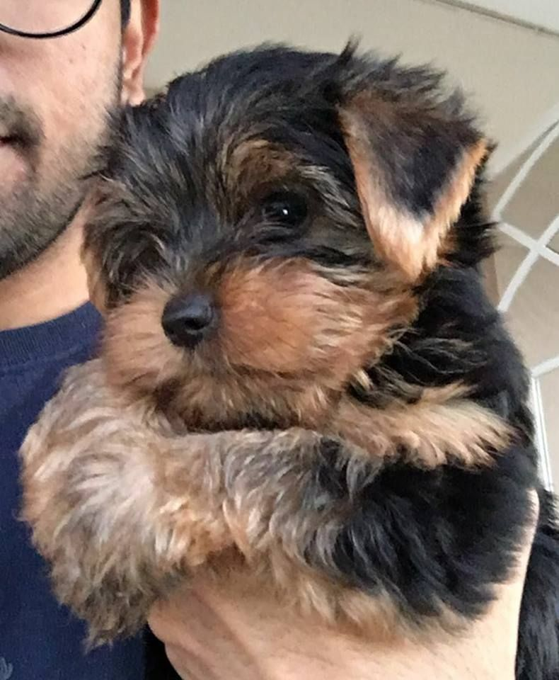 Trinidad Tobago Yorkies Yorkshire Terriers Home Facebook Dog Kennel For Sale In Trinidad In 2020 Pitbull Puppies For Sale Rottweiler Puppies For Sale Puppies For Sale