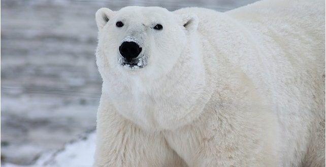 صور الدب أجمل صور دببه متنوعة خلفيات دب للفيس بوك موقع حصري Polar Bear Polar Animals Bear Species