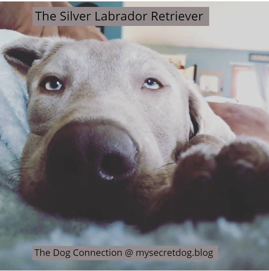 Our New Silver Lab And The History Of The Silver Labrador Dog Blog Dogs Lab Puppies