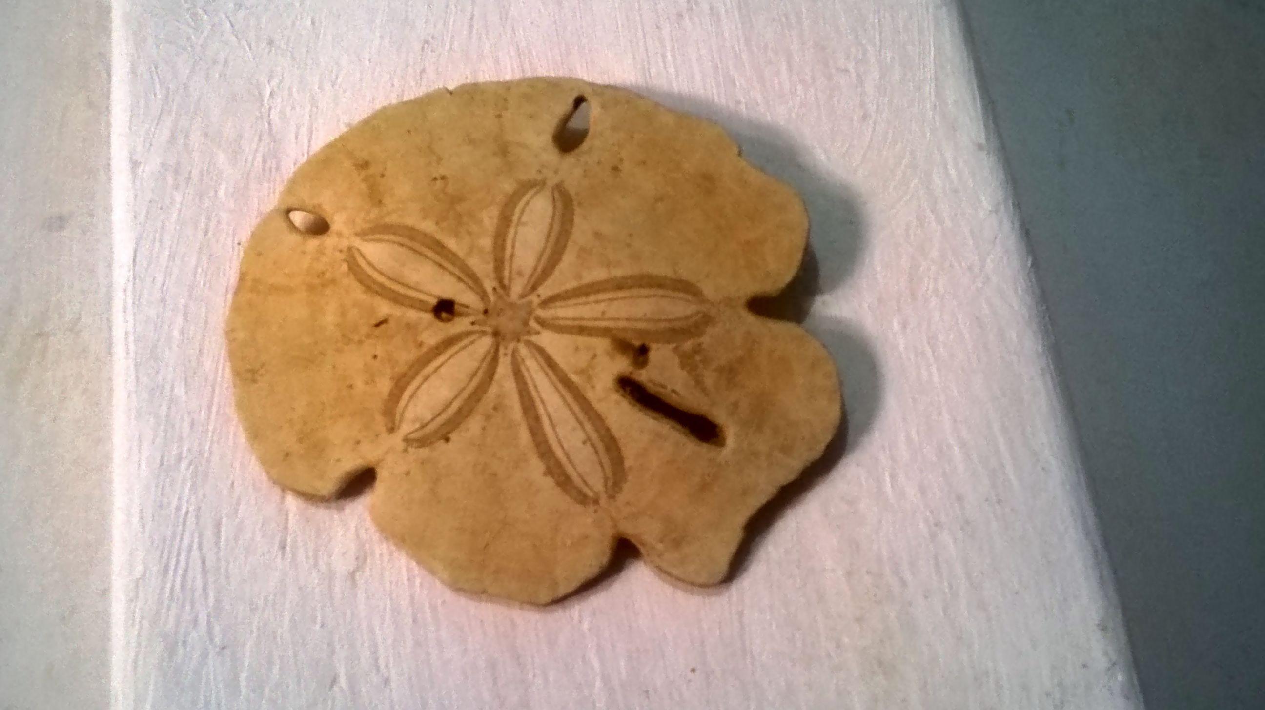 Estrela do mar, uma variação da espécie que vem com este desenho sobre sua casca. Fica na minha parede! Ah! Encontrei-a já morta... Não teria coragem de matá-la apenas para servir de enfeite.