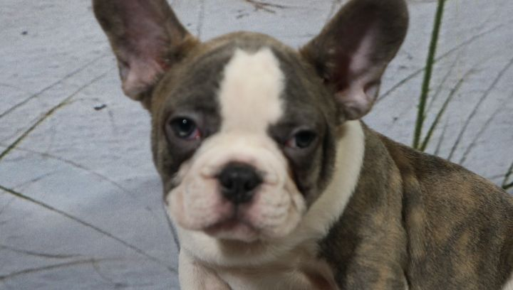 Flynn A Male Akc French Bulldog For Sale In Nappanee In