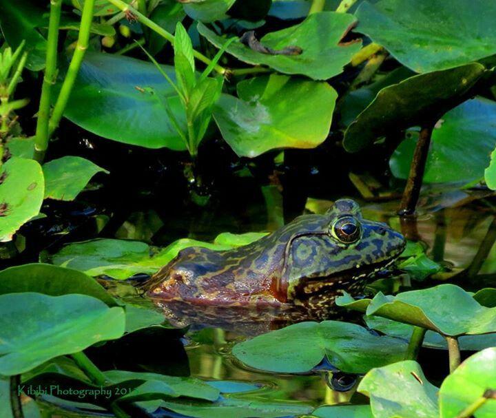Amazing Frog: Kermit The Frog! American Bullfrog, Camouflage